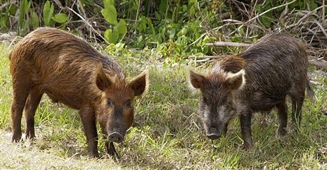 Hundreds Of Feral Hogs Killed In Northeast And Southeast Arkansas
